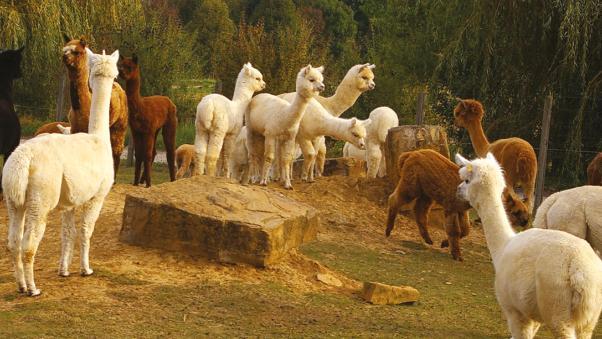 Alpaka farm nürtingen